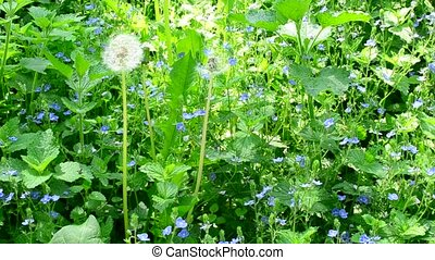 Meadow with many veronica flowers, day nettle and dandelion...