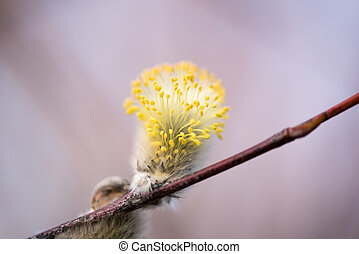 First buds of Goat Willow in spring - First buds of Goat...