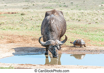 Cape Buffalo and Leopard tortoise - A muddy Cape Buffalo,...