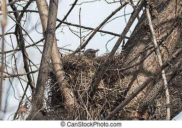 Fieldfare, Turdus pilaris incubates eggs in her nest