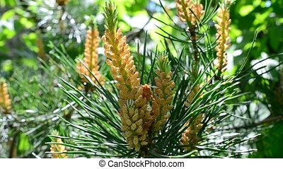 Beautiful blossoming pine tree branch with vibrant colors