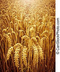 Field of golden, ripening wheat