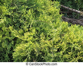 Cypress tree - Cypress Cupressus sempervirens tree detail...