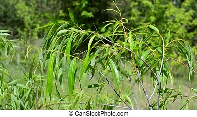 Beautiful willow branch with fresh light green lush foliage...