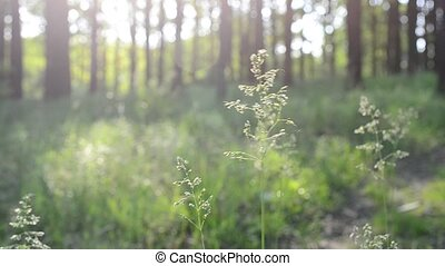 Common meadow-grass panicles blown by wind in forest - Poa...