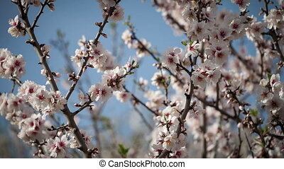 Flowering apricot tree against the blue sky