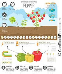 Gardening work, farming infographic.Sweet pepper. Graphic...
