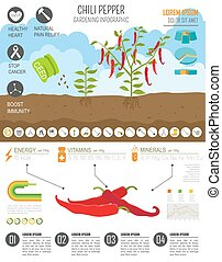 Gardening work, farming infographic.Chili pepper. Graphic...