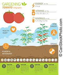 Gardening work, farming infographic Tomato Graphic template...