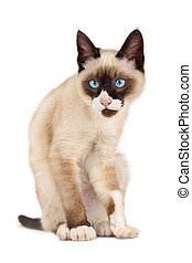 funny looking cat - funny looking siamese cat posing for the...