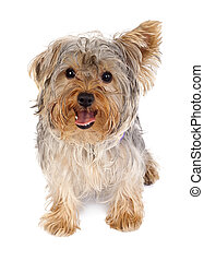 Yorkshire Terrier - Puppy of the Yorkshire Terrier standing...