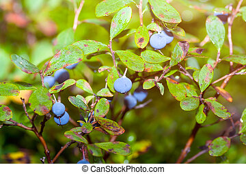 Blueberry Bush - Blueberry bush in the forest