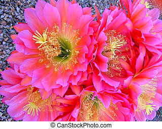 Almas Cactus Flower - Cactus flowers on hedgehog cactus in...