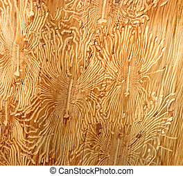 Cypress Bark Beetle galleries - Cypress Bark Beetle -...