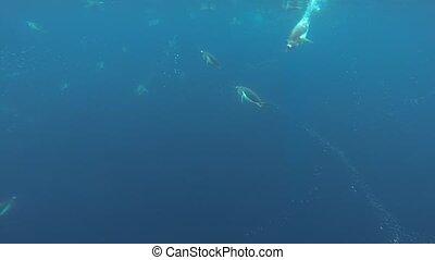 Gentoo Penguins under water - Gentoo Penguin under water in...