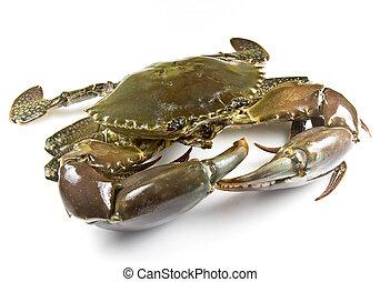 Mud Crab - Mud crab alive