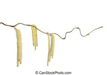 Hazel branch with catkins isolated on white (Corylus...