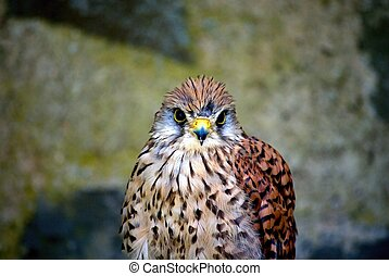 Kestrels head with yellow beak