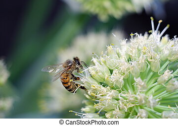 bee on white flower collecting pollen