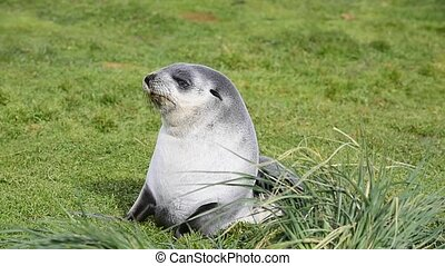 A young fur seal pup resting on the grass in South Georgia