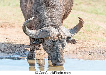 Cape Buffalo drinking - A muddy Cape Buffalo, Syncerus...