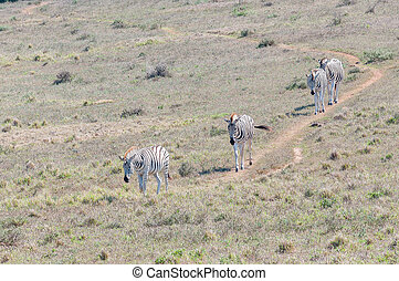 Burchells zebras walking in a row - Four Burchells zebras,...