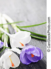 Spring crocus flowers - Fresh cut white and purple spring...