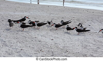 Flock of Black Skimmer, Rynchops niger