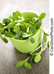 Green sunflower sprouts in a cup
