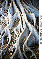 White tree roots - The tangled roots of a Ficus macrophylla,...