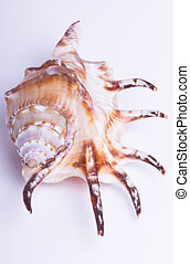 Sea shell  on the white background