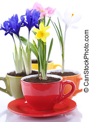 growing spring flowers in a cup (spring concept)