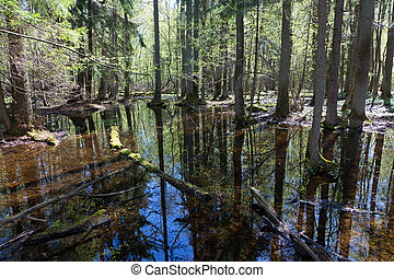 Riparian stand of Bialowieza Forest in sun - Riparian stand...