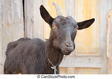 black goat head as portrait form home farm