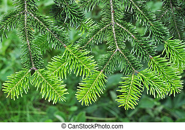 Pine tree - Needle leaf pine tree in its natural environment