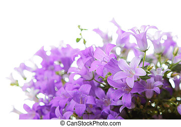 Bell flowers on white - Campanula bell flowers isolated on...