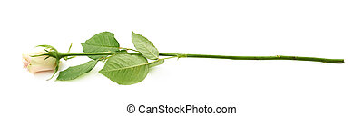 Single white rose isolated over the white background