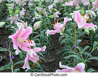 Pink Easter lily flower (Lilium longiflorum) in the garden