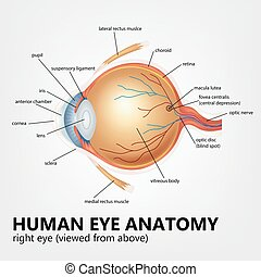 Human eye anatomy, right eye viewed - Vector Illustration Of...