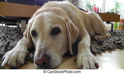 Labrador Dog Relaxing Lying On Floor