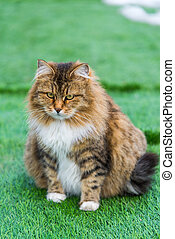 Pregnant colored cat outdoors on grass - A Pregnant colored...