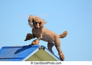 Miniature Poodle at a Dog Agility Trial - Miniature Poodle...