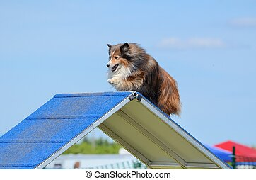 Shetland Sheepdog (Sheltie) at Dog Agility Trial - Tricolor...