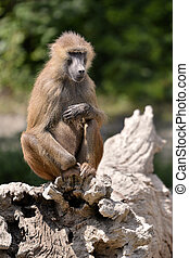 Baboon on tree stump