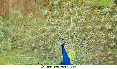 portrait of beautiful peacock - Close-up portrait of...