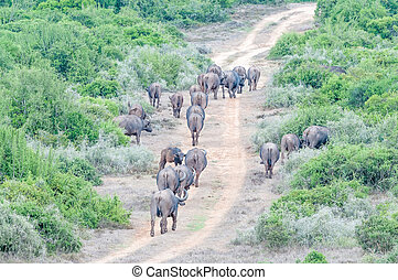 Cape buffalo herd - A herd of Cape buffalo, Syncerus caffer,...