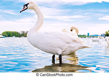Swan in the water - Young white swan in the water