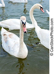 Swans in the river - Big white swans in the river,selective...