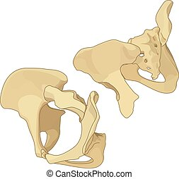 Female pelvis isometric flat vector - Coccyx and coxal bone...