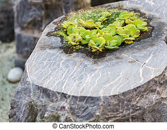 ornamental plant for gardens growing in a stone pot